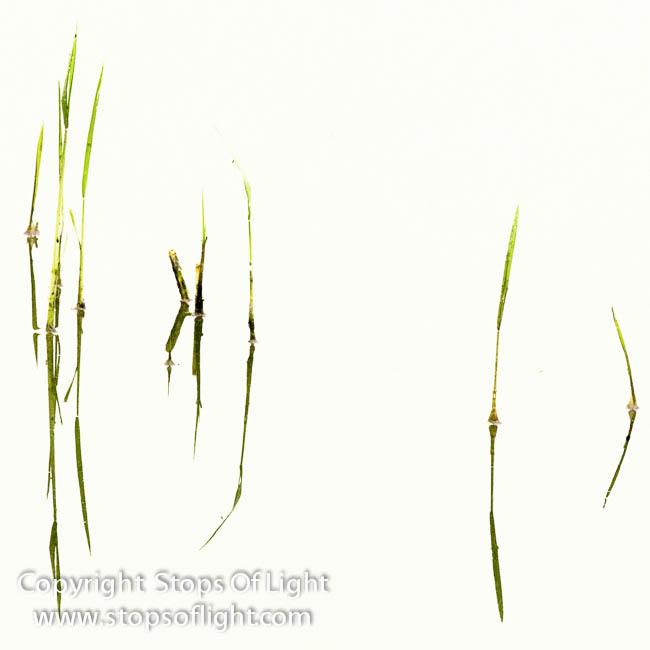 Reeds in Water, Jaipur